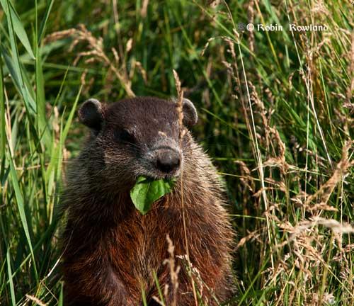130-groundhog1.jpg