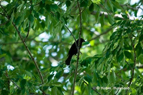 131-redwingerblackbirdtree.jpg