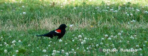 132-redwingerblackbird2.jpg