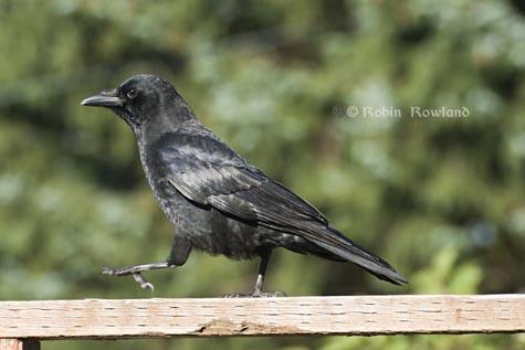 574-crow1.jpg